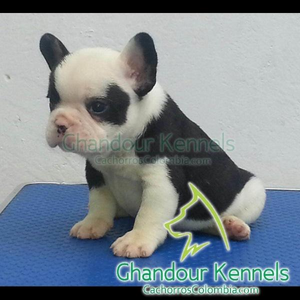 Cachorros Colombia - Bulldog Francés