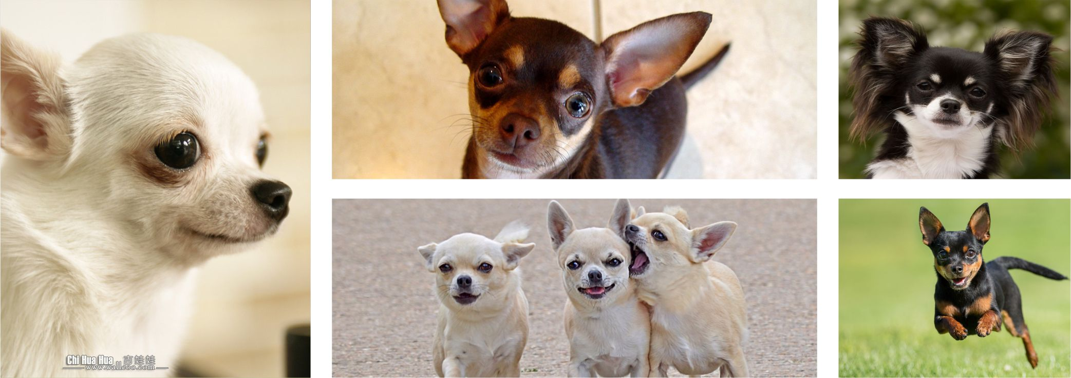 Cachorros Colombia - Chihuahua