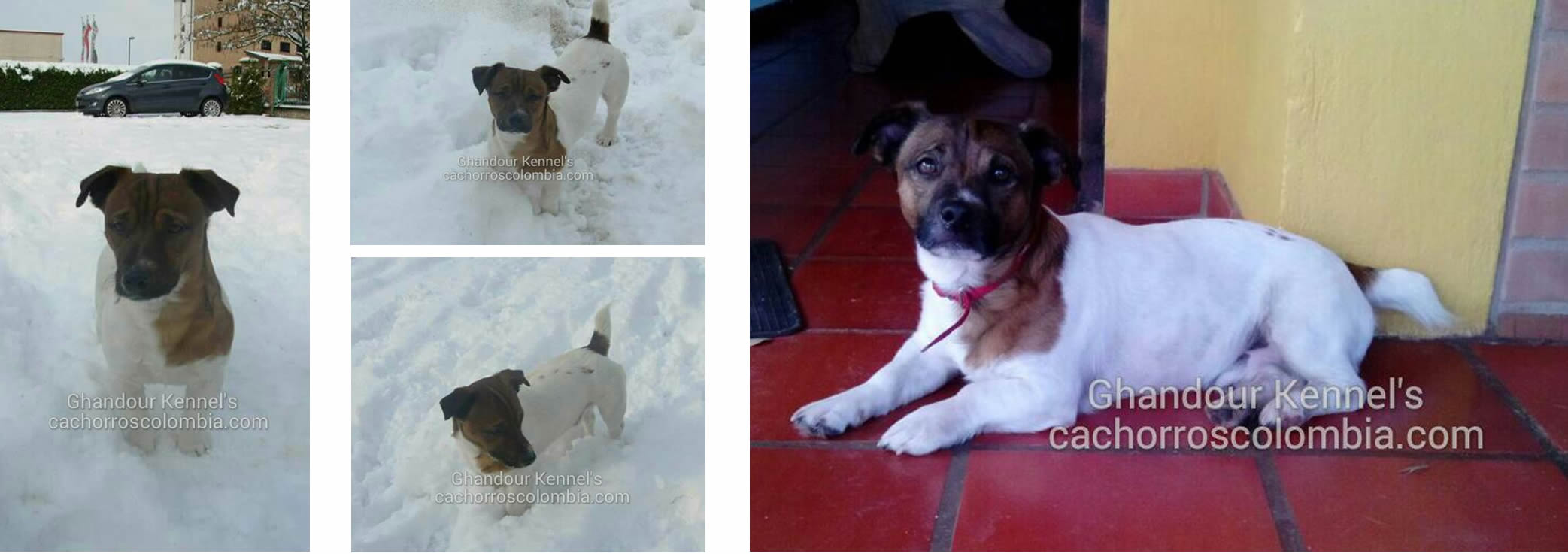 Cachorros Colombia - Jack Russell