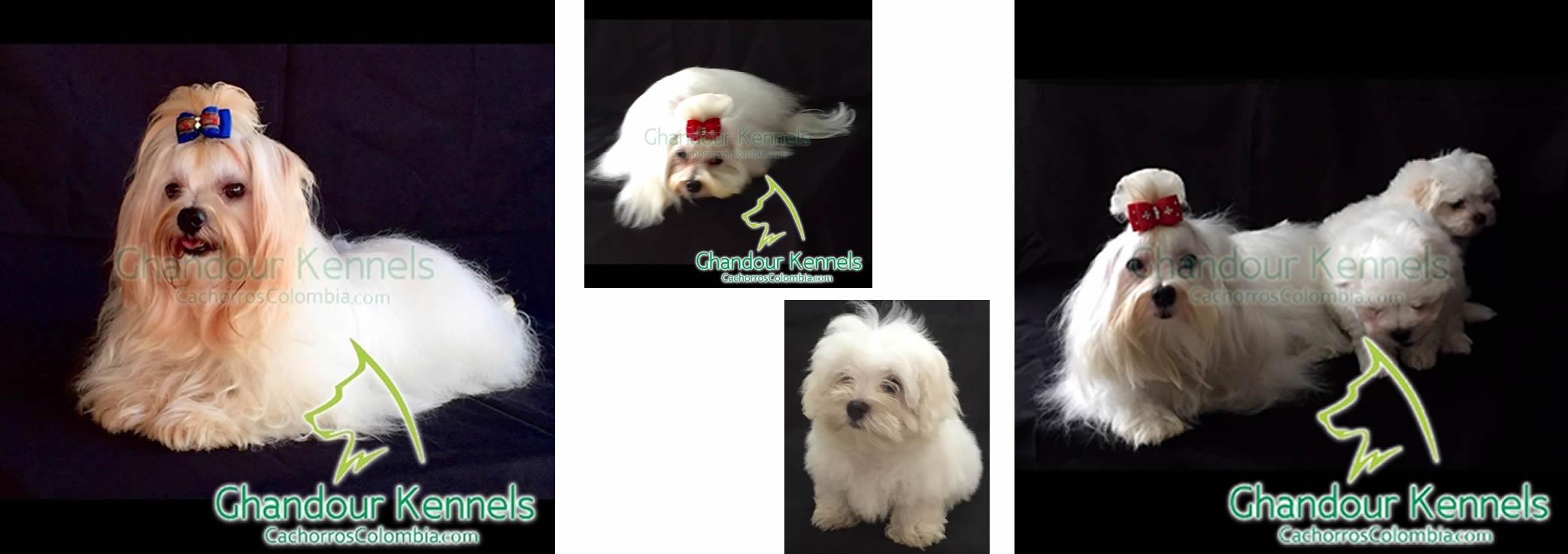 Cachorros Colombia - Maltés