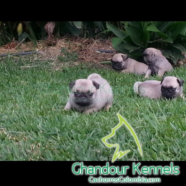 Cachorros Colombia - Pug