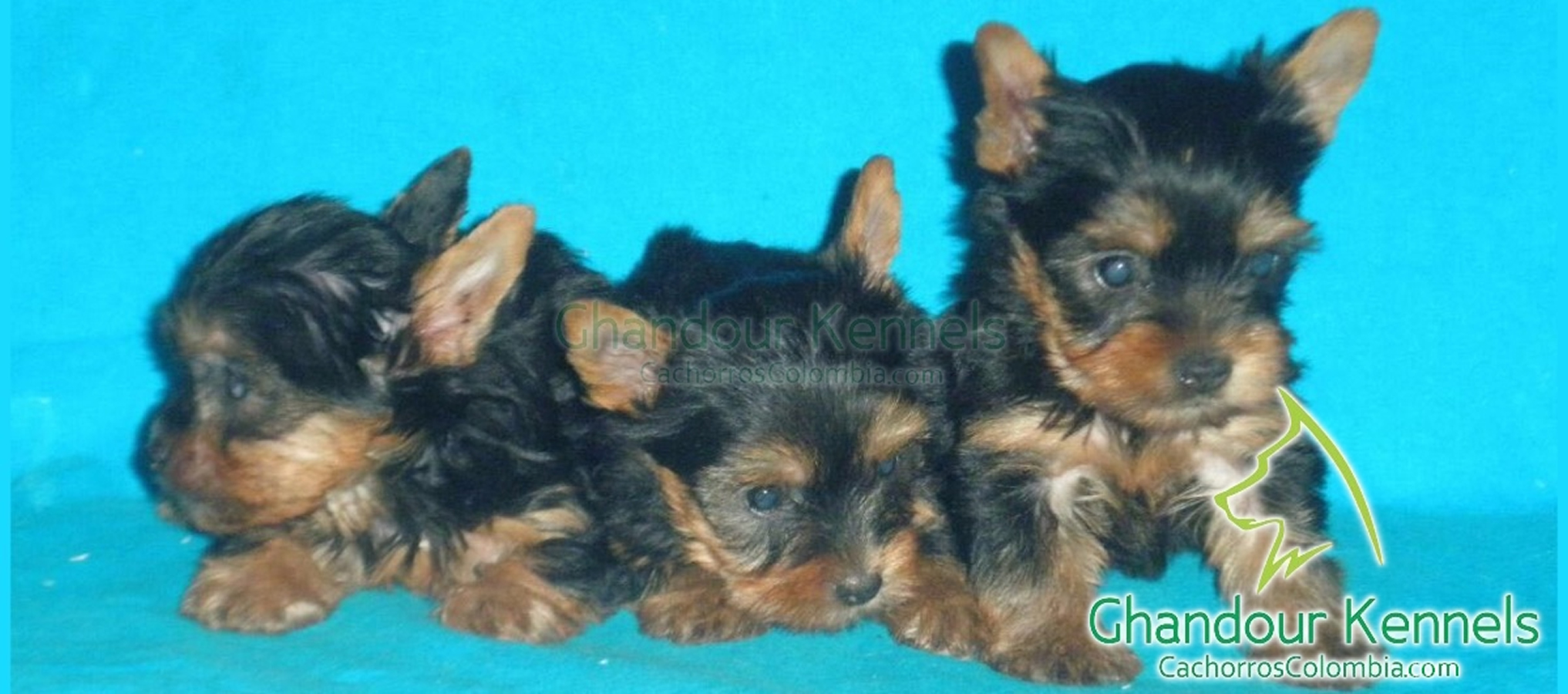 Cachorros Colombia - Yorkshire Terrier
